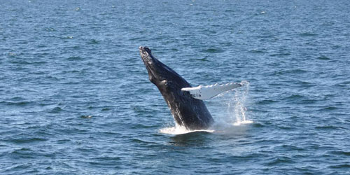 Whale 500x250 - Captain John Whale Watch & Fishing Tours - Plymouth, MA