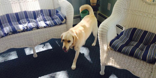 Golden Lab - Green Harbor Waterfront Lodging - East Falmouth, MA