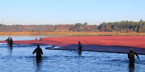 Cranberry Harvest Bog Tours - Plymouth County, MA