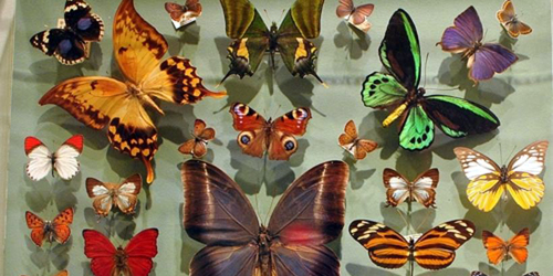butterflies at harvard museum of natural history