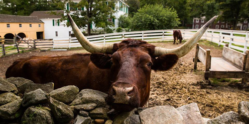 Devon Cow - Old Sturbridge Inn & Reeder Family Cottages - Sturbridge, MA